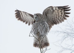 Great grey owl  with the wings up