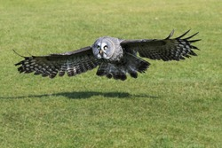 Great Grey Owl with wings spread. A magnificent great grey owl spreads its wings as it prepares to land.