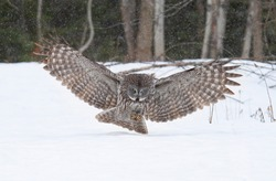 Great grey owl with wings spread preparing to pounce on its prey on snow as he hunts in Canada