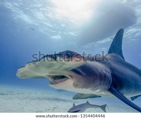 Great Hammerhead in the Bahamas #1354404446