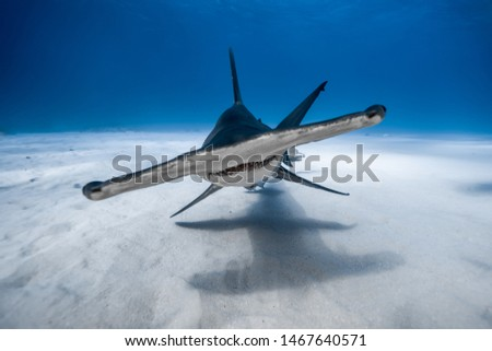 Great hammerhead portrait in the Bahamas with crystal clear water. #1467640571