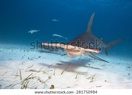 Great hammerhead shark #281750984
