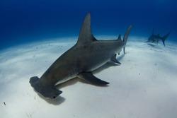 Great Hammerhead Shark in Bimini, Bahamas