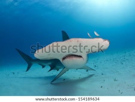 Great Hammerhead Shark in Bimini, Bahamas #154189634
