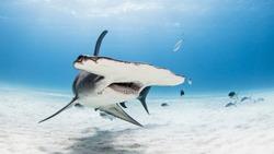 Great Hammerhead Shark in bimini on sandy bottom with mouth open