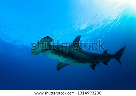 Great Hammerhead Shark (Sphyrna mokarran) against Blue Water and Surface. Tiger Beach, Bahamas