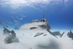 Great Hammerhead Shark turns with fins down