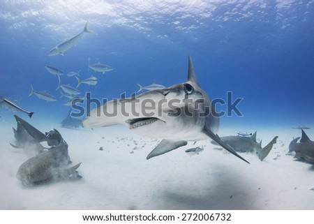 Great Hammerhead Shark turns with fins down  #272006732