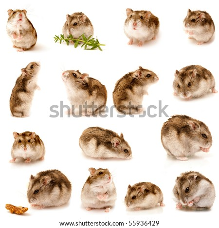 great hamster collection
