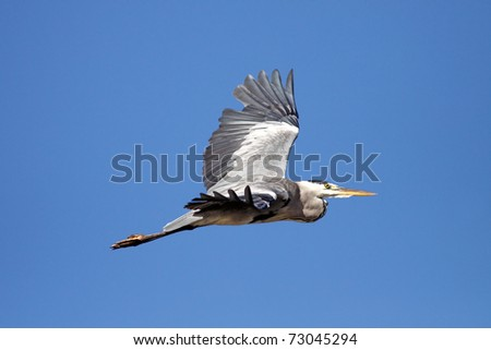 Great heron flying over river Douro in the north of Portugal against deep blue sky