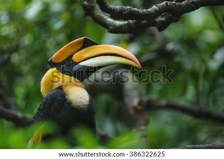 Great hornbill, Great indian hornbill, Great pied hornbill in rainforest