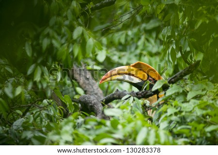 Great Hornbill in rainforest.
