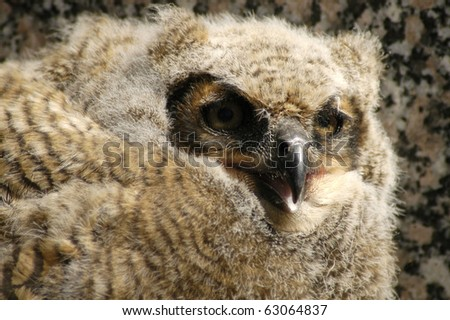 Great Horned Baby Owl that just left the nest in a graveyard in Minnesota.