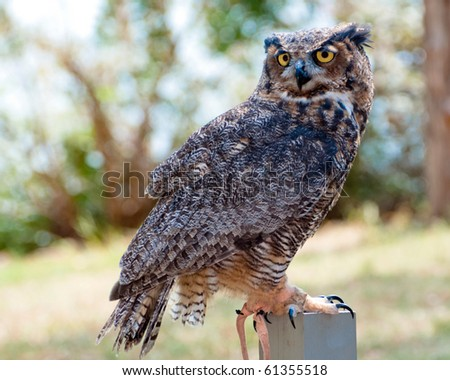 Great horned eagle owl