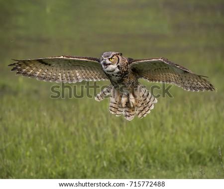 Great Horned Owl #715772488
