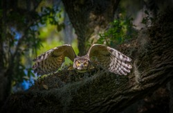 great horned owl adult (bubo virginianus) flying towards camera from oak tree, yellow eyes fixed on camera, wings open and flared showing inside feathers with black barring , bokeh background