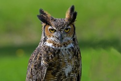 Great horned owl, also known as the tiger owl or the hoot owl in daylight. It is a large owl native to the Americas and it is an extremely adaptable bird with a vast range