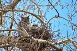 Great horned owl and owlet nesting