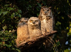 Great horned owl and owlets in Pennsylvania