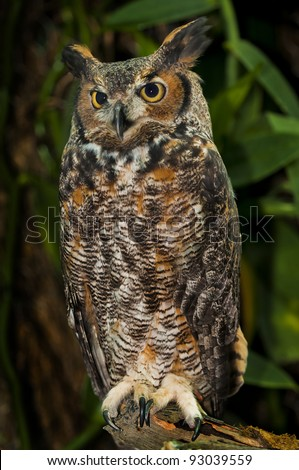 Great Horned Owl, (Bubo virginianus), also known as the Tiger Owl - stock photo