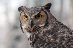 great horned owl (bubo virginianus), also known as the tiger owl or the hoot owl, is a large owl native to the Americas
