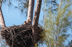 Great Horned owl Bubo virginianus nests inside what was a bald eagle nest on Marco Island, Florida.