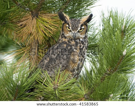 Great Horned Owl (Bubo virginianus) perched in white pine tree.