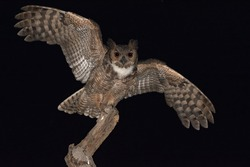 Great Horned Owl (Bubo virginianus) , perched on a dry tree branch with open wings. Selective focus.