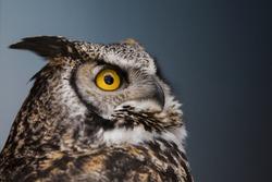 great horned owl (Bubo virginianus) portrait