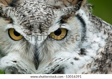 Great Horned Owl (Bubo virginianus) Stare - captive bird - copy space right