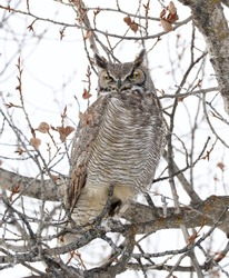 Great Horned Owl camouflaged in the cottonwood trees.