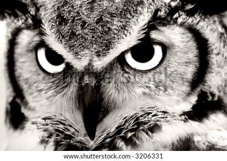Great Horned Owl Closeup in Black & White