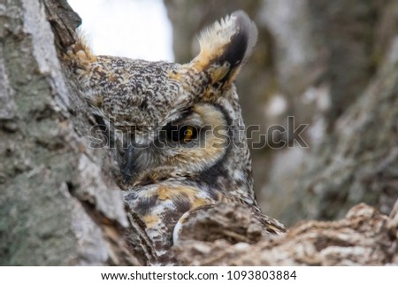 Great horned owl hiding in a tree in suburban Denver, Colorado