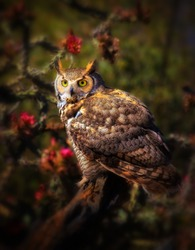 Great Horned Owl in Sonoran Desert Daytime with Cholla Blooms
