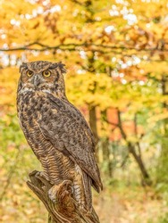Great Horned Owl in the woods in Fall