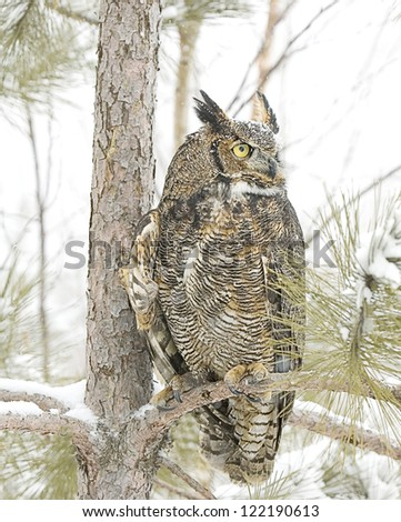 Great horned owl in winter plumage