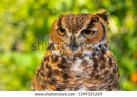 Great horned owl isolated on green forested background #1349325269
