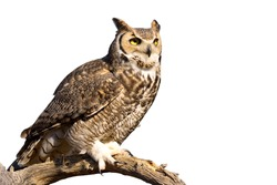 Great Horned Owl isolated on white background.