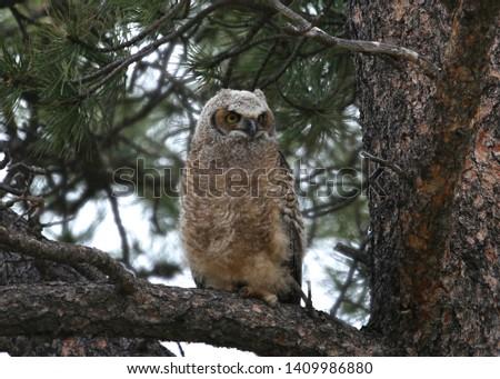 Great Horned Owl (juvenile) (bubo virginianus) #1409986880