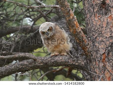 Great Horned Owl (juvenile) (bubo virginianus) #1414182800