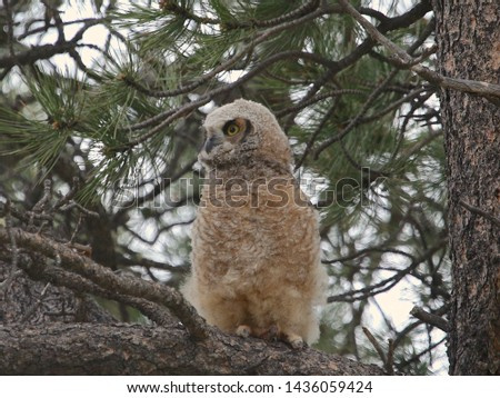 Great Horned Owl (juvenile) (bubo virginianus) #1436059424