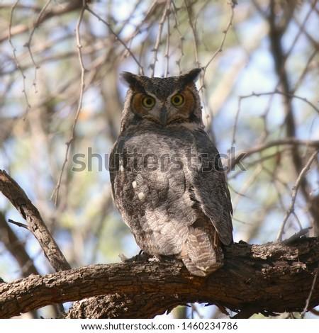 Great Horned Owl (juvenile) (bubo virginianus) #1460234786
