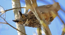 Great horned owl looking down from a tree.