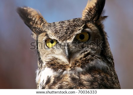 Great Horned Owl near the Boise River, Idaho