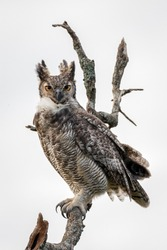 Great Horned Owl perched on branch in the Argentine pampa