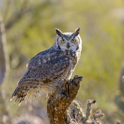 Great Horned Owl perching on a branch