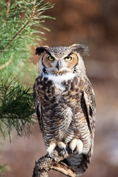 Great Horned Owl sits on a pearch and stares into the camera. Room for text above the owl.