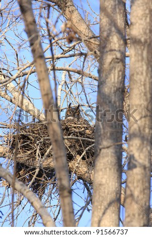 Great Horned Owl sitting in nest