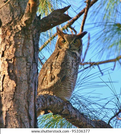 Great Horned Owl stands watch.