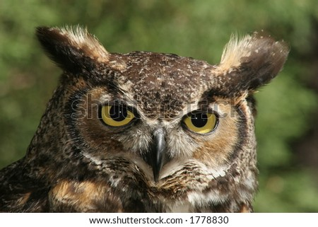 Great Horned Owl Stare